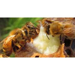 méhészeti kezelés sacroiliac ízületi fájdalom