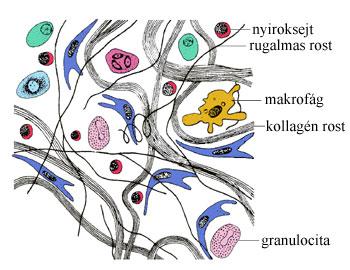 porc kötőszövet sejt