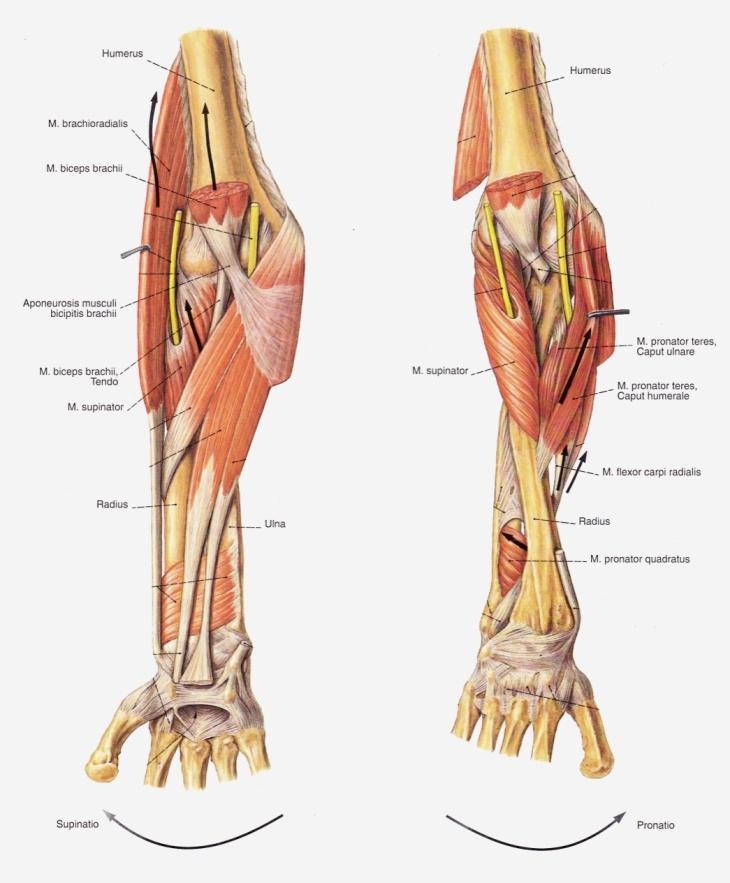 A brachialis periarthrosis jellemzői - a betegség teljes áttekintése