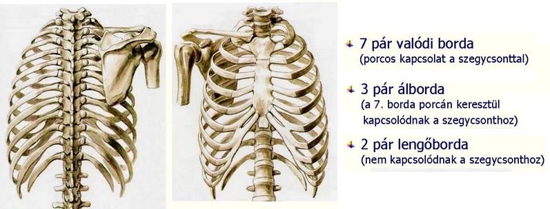 csontváz porc kötőszövet