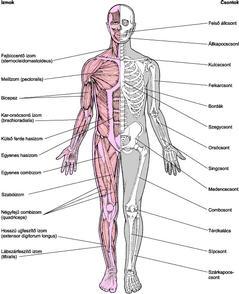 izom-csont ízületi fájdalom