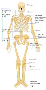 a lábak és a gerinc karjainak ízületei