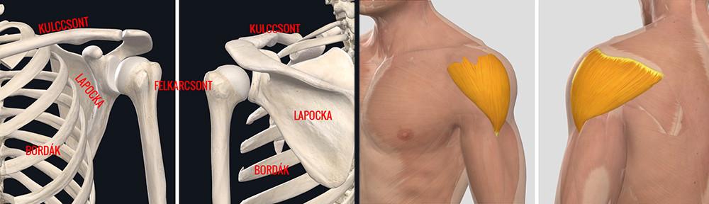 Arthralgia ill. váll-artrózis - leírás és gyógykezelés